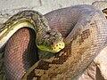 Python timoriensis Tropicario 2.JPG