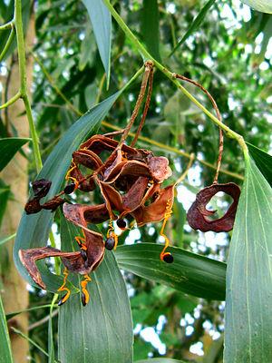 Acacia auriculiformis - Fruit