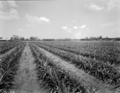 Queensland State Archives 1837 Pineapple fertiliser trial Regional Experiment Station Ayr November 1955.png
