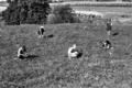 Queensland State Archives 2862 Pasture studies at Nambour State Rural School 1946.png