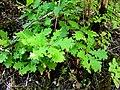 Quercus frainetto NoviPazar1.JPG