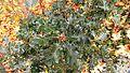 Quercus garryana (Oregon white oak) - Flickr - brewbooks.jpg