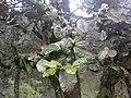 Quercus semecarpifolia 02.jpg