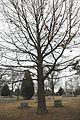 Quercus velutina (23567030643).jpg