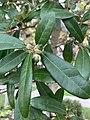 Quercus virginiana—acorns.jpg
