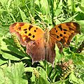 Question Mark (Polygonia interrogationis) on Plantains.jpg