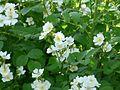 Róża krzaczasta Kew Gardens 03.jpg