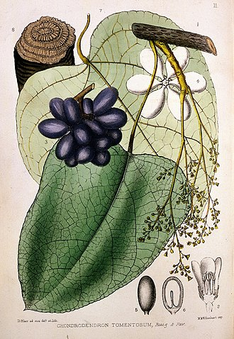 Curare - Chondrodendron tomentosum, main source plant of 'Tube Curare' and principal source of D-tubocurarine (DTC), the alkaloid constituting medicinal curare.