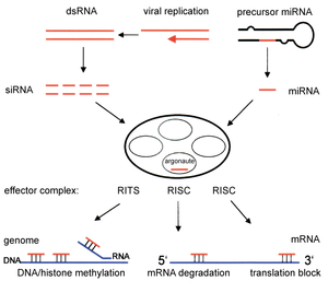 Gene silencing - Left:Overview of RNA interference.