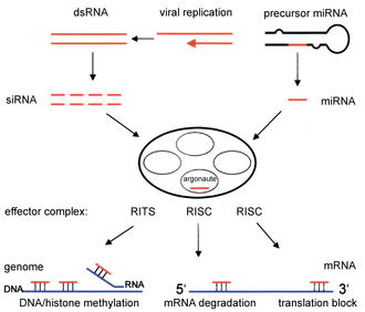 Neurofibrillary tangle - Overview of RNA interference.