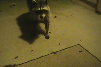 File:Raccoon near the house.ogv