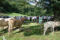 Race bovine lourdaise Barlongue 2015 3.JPG