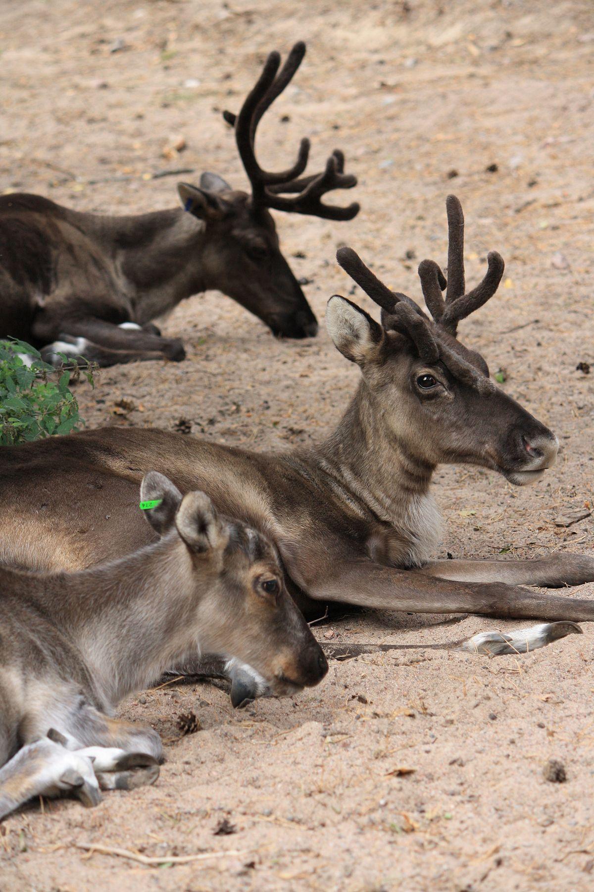 Finnish forest reindeer - Wikipedia
