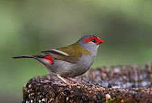 Red-browed Finch 0065 Px1600.jpg