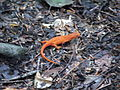 Red-spotted newt - Orange Eft Lizard Plotter Kill Nature Preserve Rotterdam NY 8710 (4855140122).jpg