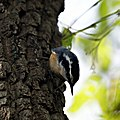 Red Breasted Nuthatch (5005069027).jpg