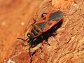 Red Bug (15920030527).jpg