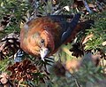 Red Crossbill (8204919610).jpg