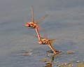 Red Dragonflies Mating.jpg