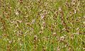 Red Grass (Themeda triandra) (6021596923).jpg