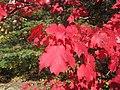 Red Maple Leaf at Algonquin Park.jpg