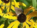 Red banded hairstreak butterfly calycopis cecrops.jpg