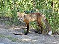 Red fox with prey in Colorado, Aug 2014.jpg