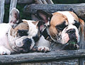Redfawnpied french bulldogs.jpg