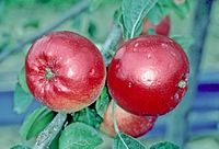 Redfree on tree, National Fruit Collection (acc. 1983-052).jpg