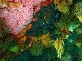 Reef invertebrates at Anvil Rock P9300805.jpg