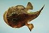 Reticulated goosefish (Lophiodes reticulatus)