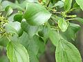 Rhamnus cathartica 5456132.jpg