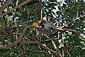 Rhesus macaque (Macaca mulatta) (6748000215).jpg