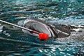Rhincodon typus, whale shark IMG 7075.jpg