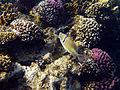 Rhinecanthus assasi - Rotmeer-Picassodrueckerfisch 0953.jpg