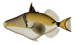 Blackbelly triggerfish - Image: Rhinecanthus verrucosus