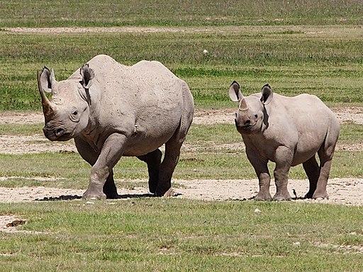 Rhinoceros, Ngorongoro (2015)