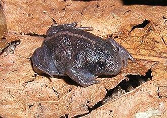 Mesobatrachia - Rhinophrynus dorsalis