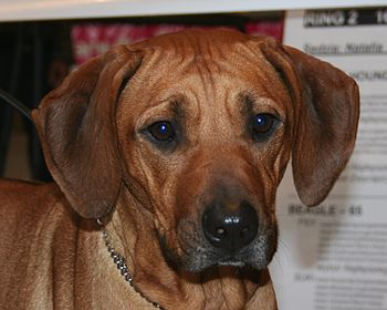 Rhodesian Ridgeback during dogs show in Katowi...
