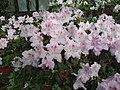 Rhododendron cv. Kiev Grishko 12.jpg