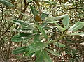 Rhododendron japonoheptamerum var hondoense4.jpg