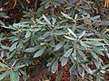 Rhododendron maximum (Fox Creek, Grayson County, Virginia, USA) 5 (30421473015).jpg