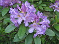 Rhododendron ponticum ssp baeticum.JPG