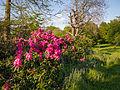Rhododendrons (9058092418).jpg