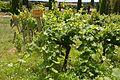 Riesling - vines.jpg