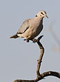 Ring-necked Dove (also known as Cape Turtle Dove), Streptopelia capicola, at Mapungubwe National Park, Limpopo, South Africa (18810706366).jpg
