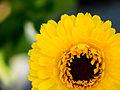 Ringelblume, Calendula officinalis (04).jpg