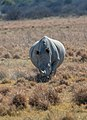 Rinoceronte blanco (Ceratotherium simum), Santuario de Rinocerontes Khama, Botsuana, 2018-08-02, DD 03.jpg
