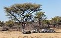 Rinocerontes blancos (Ceratotherium simum), Santuario de Rinocerontes Khama, Botsuana, 2018-08-02, DD 11.jpg