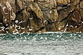 Rissa tridactyla, Bahía de la Resurección, Seward, Alaska, Estados Unidos, 2017-08-21, DD 45.jpg